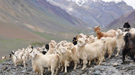 カシミヤ カシミア 山羊